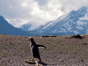 Tierra Del Fuego Penguin