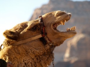 This isn't Alka. Actually this is another camel from Jordan.